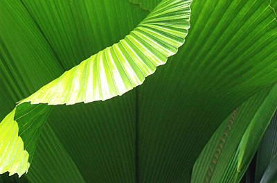 Photograph - Asian Fan Palm Leaves by David Clode