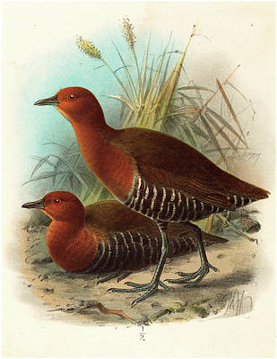 Philippines Drawing - John Gerrard Keulemans British, Active 19th Century by Litz Collection
