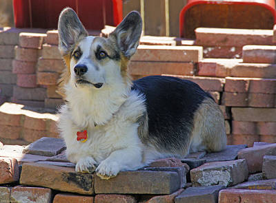 Photograph - Johnny The Corgi On The Bricks by Mick Anderson