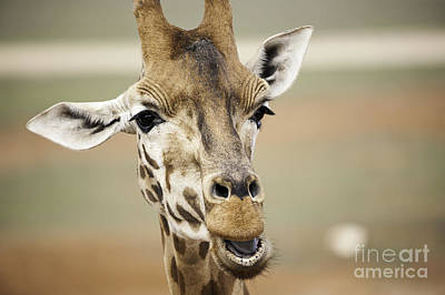 Photograph - Jolly Giraffe by Ray Warren
