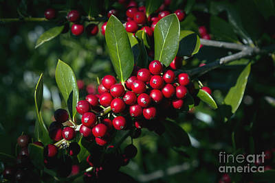 Photograph - Jolly Holly by Michael Waters