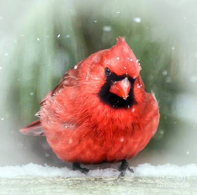 Photograph - Jolly Old ....... Cardinal  by Kerri Farley