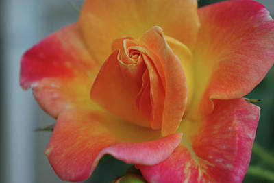 Joseph's Coat Climbing Rose Art Print by Robyn Stacey