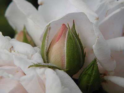Photograph - Joseph's Coat Rose by Marijo Fasano