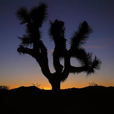 Photograph - Joshua Tree by Eduard Moldoveanu