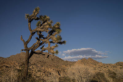 Photograph - Joshua Tree Sunset 2 by Lee Kirchhevel