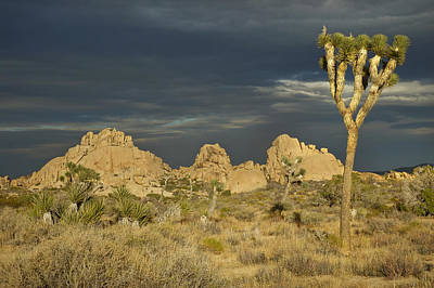 Photograph - Joshua Tree Sunset by Lee Kirchhevel