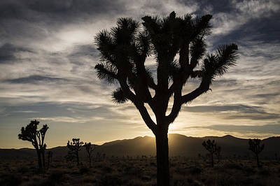 Photograph - Joshua Tree Sunset Silhouette 4 by Lee Kirchhevel