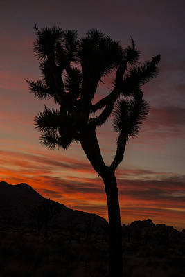 Photograph - Joshua Tree Sunset Silhouette 6 by Lee Kirchhevel