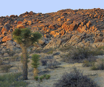 Joshua Tree With Offsrping Art Print