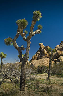 Randall Nyhof Royalty Free Images - California Joshua Trees in Joshua Tree National Park by the Mojave Desert Royalty-Free Image by Randall Nyhof