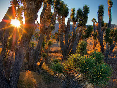 Photograph - Joshua Trees by Leland D Howard
