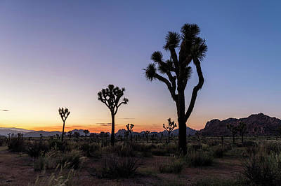 Monocot Photograph - Joshua Trees (yucca Brevifolia) At Sunset by Michael Szoenyi