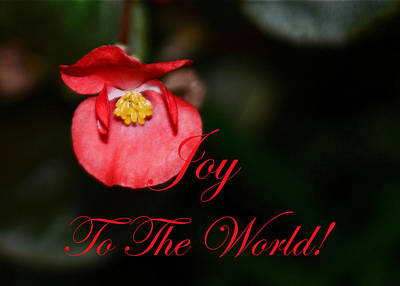 Photograph - Joy To The World Begonia by Connie Fox