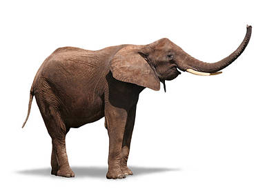 Joyful Elephant Isolated On White Art Print