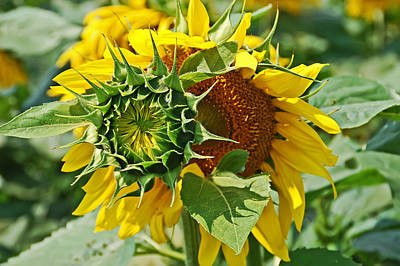 Photograph - Joyous Sunflower by Aimee L Maher Photography and Art Visit ALMGallerydotcom