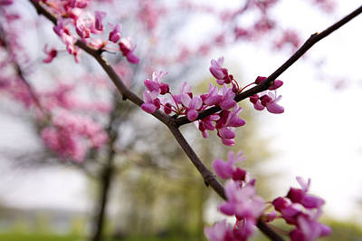 Judas Tree Blossom Art Print by John Holloway