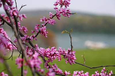 Photograph - Judas Tree by John Holloway