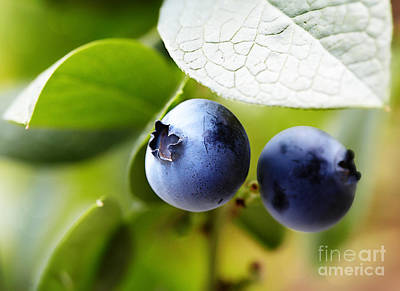 Juicy Highbush Blueberries Ripening On The Bush Art Print