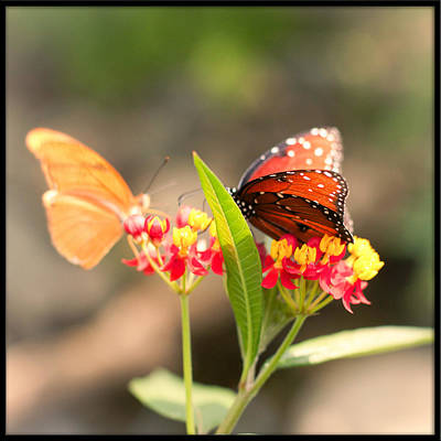 Photograph - Julia And Viceroy Butterflies by Heidi Hermes