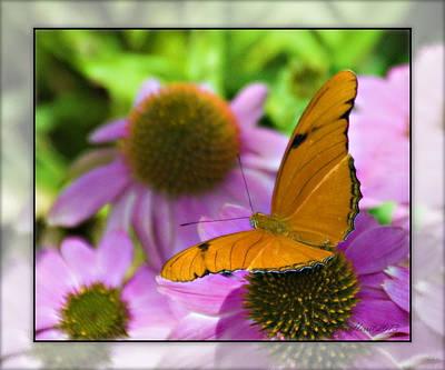 Photograph - Julia Butterfly 2 by Walter Herrit