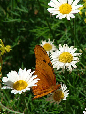 Photograph - Julia Butterfly And White Daisies - 108 by Mary Dove