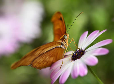 Photograph - Julia Butterfly Atop A Daisy  by Saija  Lehtonen