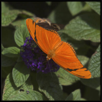 Photograph - Julia Butterfly by Heidi Hermes