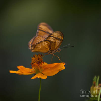 Zoologic Photograph - Julia Butterfly by Heiko Koehrer-Wagner