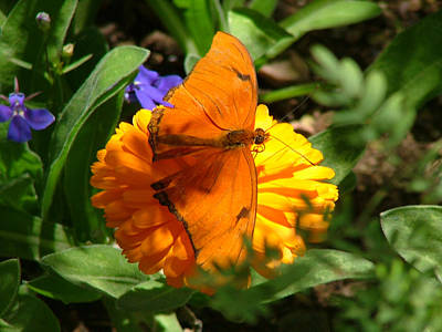 Photograph - Julia Butterfly On Orange Flower - 107 by Mary Dove