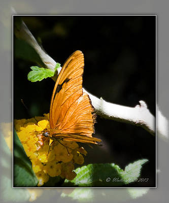 Photograph - Julia Butterfly by Walter Herrit
