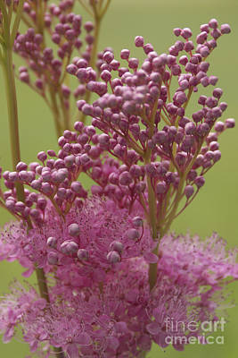 July Astilbe Art Print by Patrick Fennell