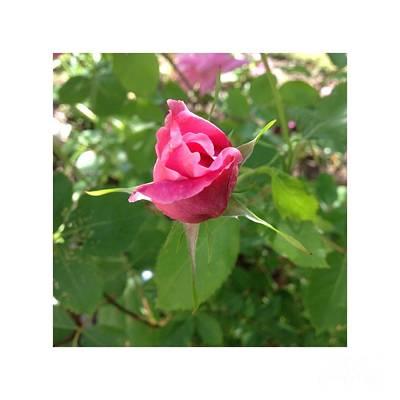 Roses Photograph - July Rosebud by Patricia E Sundik