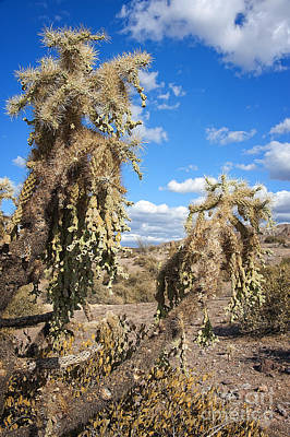 Photograph - Jumping Cholla by Lee Craig