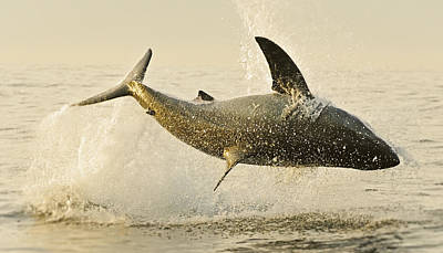 Great White Death Photograph - Jumping Great White No 1 by Andy-Kim Moeller