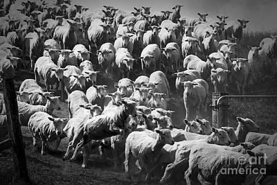 Photograph - Jumping Sheep by Nareeta Martin