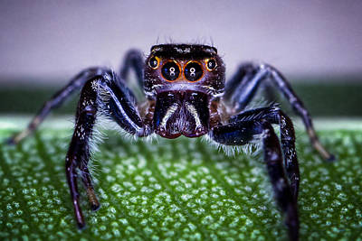 Photograph - Jumping Spider 2 by Brad Grove