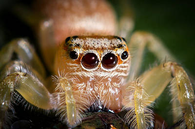 Photograph - Jumping Spider 4 by Brad Grove