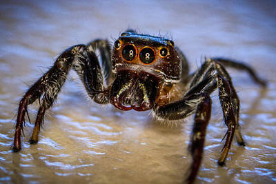 Photograph - Jumping Spider by Brad Grove