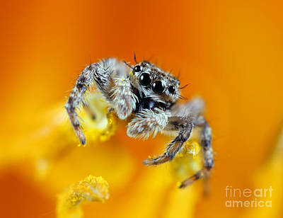 Jumping Spider Art Print by Brandon Alms