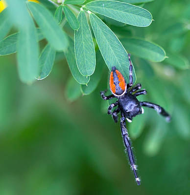 Photograph - Jumping Spider by Melinda Fawver