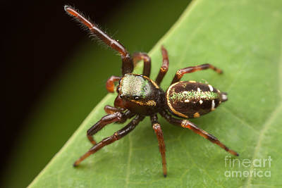 Spider Photograph - Jumping Spider Paraphidippus Aurantius I by Clarence Holmes