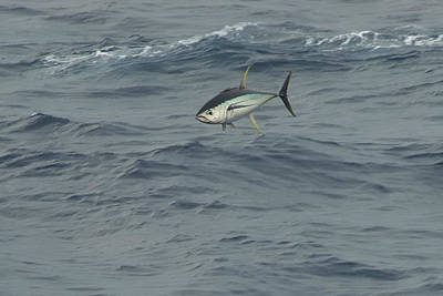 Photograph - Jumping Yellowfin Tuna by Bradford Martin