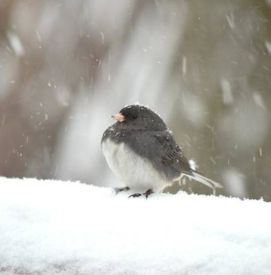 Photograph - Junco 4 by Richard Bryce and Family