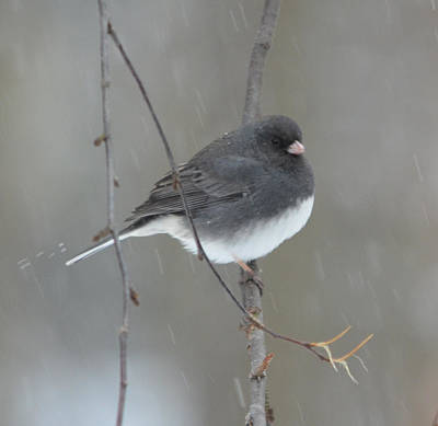 Photograph - Junco In The Snow by Richard Bryce and Family
