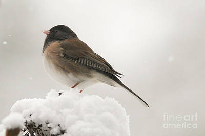 Photograph - Junco In The Snow by Sharon Talson