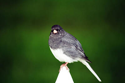 Photograph - Junco by Kathy J Snow