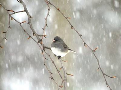 Photograph - Junco On Branch by Richard Bryce and Family