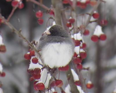 Photograph - Junco Puffed Up On Crabapple Tree by MTBobbins Photography