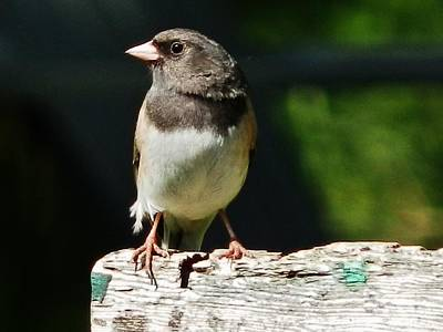 Photograph - Junco Simplicity by VLee Watson